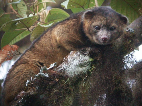 New-Mammal-Olinguito-1
