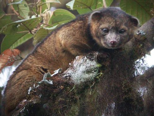 New-Mammal-Olinguito-1